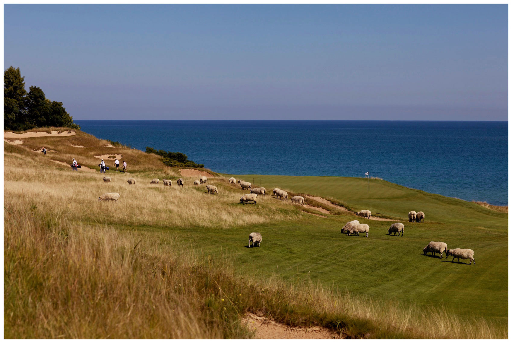Sheep on the 8th hole at Whistling Straits in Kohler, Wisconsin