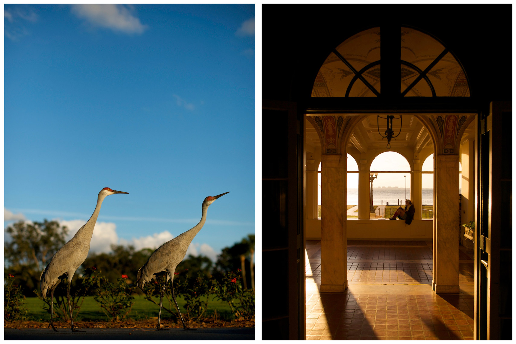 Sandhill Cranes at Bay Hill | New College of Florida