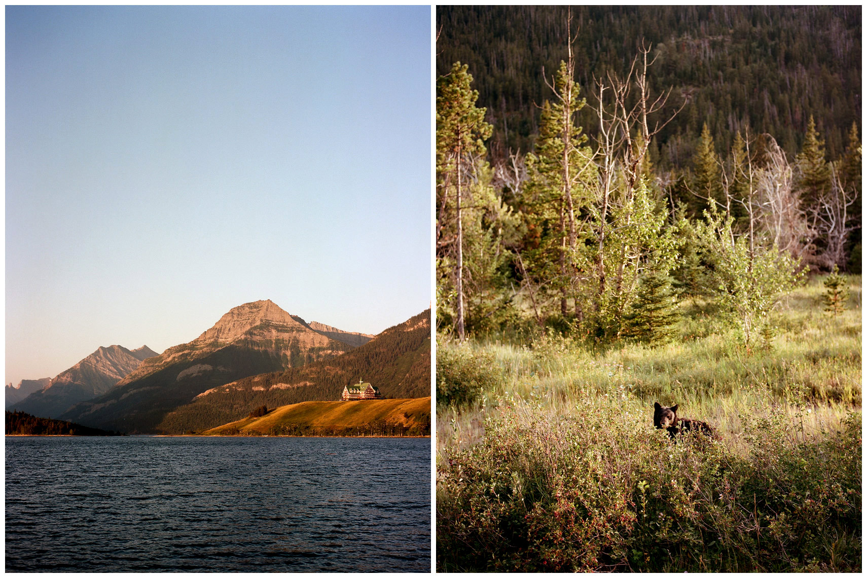 Prince of Wales Hotel and a black bear in Waterton Lakes National Park Alberta